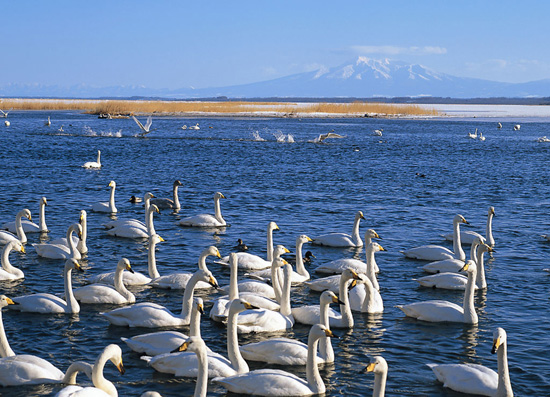 中国最大的天鹅湖
