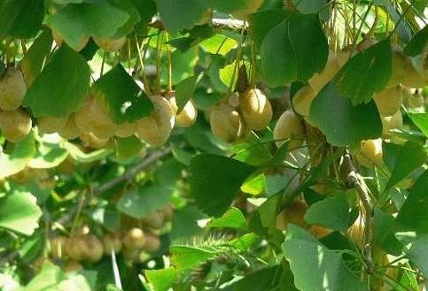 在叶子上结果的银杏树